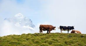 Paesaggio affascinante con le mucche nelle montagne nella foschia di Immagini Stock