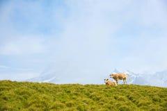 Paesaggio affascinante con le mucche nelle montagne nella foschia di Fotografia Stock