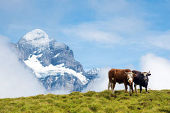 Paesaggio affascinante con le mucche nelle montagne nella foschia di Immagine Stock