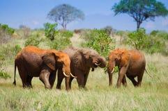 Paesaggio africano con gli elefanti rossi Fotografia Stock