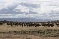Paesaggio africano con il gregge del wildebeest Immagini Stock