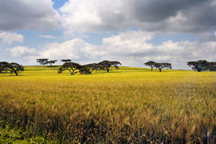 Paesaggio africano con le acace Fotografie Stock