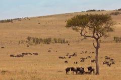 Paesaggio africano con lo gnu delle antilopi Fotografia Stock Libera da Diritti