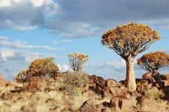 Paesaggio africano della foresta dell'albero del fremito, kokerbooms in Namibia, natura dell'Africa Immagine Stock