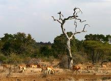 Paesaggio africano. Savanna. Impalas Fotografia Stock