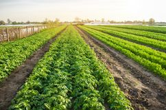 Paesaggio agricolo con le piantagioni di verdure Verdure organiche crescenti nel campo Agricoltura dell'azienda agricola Patate e fotografia stock libera da diritti