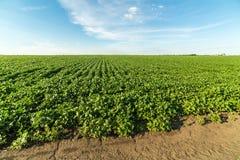 Paesaggio agricolo del giacimento della soia verde Immagini Stock