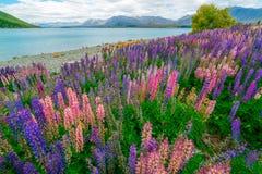 Paesaggio al campo del lupino di Tekapo del lago in Nuova Zelanda Fotografie Stock