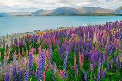 Paesaggio al campo del lupino di Tekapo del lago in Nuova Zelanda Immagini Stock
