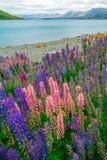 Paesaggio al campo del lupino di Tekapo del lago in Nuova Zelanda Fotografia Stock Libera da Diritti