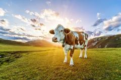 Paesaggio alpino di bello tramonto con la mucca su fondo Fotografia Stock