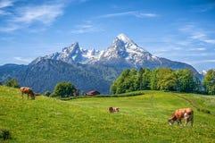 Paesaggio alpino idilliaco di estate con le mucche che pascono nei prati freschi Fotografie Stock Libere da Diritti