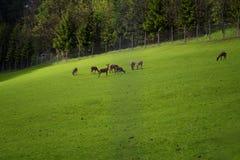 Paesaggio alpino rurale con i cervi nel parco nazionale di Hohe Tauern, Austria, Europa Immagine Stock