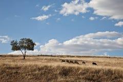 Paesaggio andaluso con una moltitudine di pecore fotografia stock