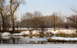 Paesaggio in anticipo della molla con la famiglia dei cigni Fotografie Stock Libere da Diritti