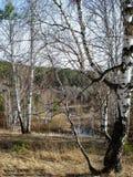 Paesaggio in anticipo della molla con le betulle Immagini Stock Libere da Diritti
