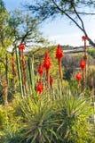Paesaggio arancio Atotonilco Messico del cactus dell'aloe Fotografie Stock
