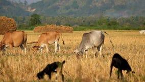 Paesaggio asiatico rurale con le mucche e le capre che pascono al prato myanmar archivi video