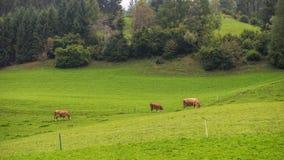 Paesaggio austriaco tipico con le mucche Fotografia Stock Libera da Diritti