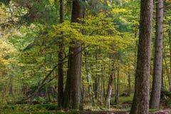 Paesaggio autunnale della foresta naturale con gli alberi morti di menzogne Immagini Stock