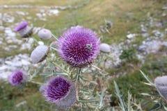 Paesaggio Bjelasnica della bardana del fiore del cardo selvatico e ape Fotografia Stock