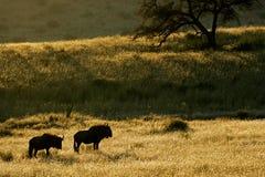 Paesaggio blu del wildebeest immagine stock