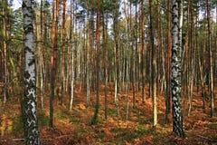 Paesaggio boscoso del boschetto misto della foresta nella stagione di autunno immagine stock libera da diritti