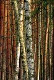 Paesaggio boscoso di un boschetto misto europeo della foresta in autunno fotografia stock