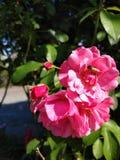 Paesaggio botanico rosa della natura del giardino di fiori delle rose dell'ape fotografia stock libera da diritti