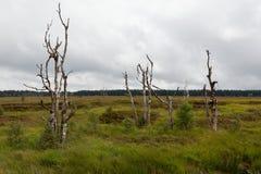 Paesaggio Botrange Belgio delle paludi degli alberi di morte alto Fotografie Stock Libere da Diritti