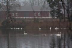 Paesaggio calmo scuro di autunno su un fiume nebbioso con cigni bianchi e riflessione degli alberi in acqua La Finlandia, fiume K immagine stock libera da diritti