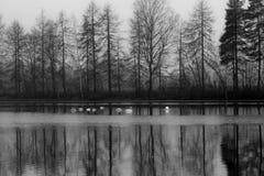 Paesaggio calmo scuro di autunno su un fiume nebbioso con cigni bianchi e riflessione degli alberi in acqua La Finlandia, fiume K fotografia stock libera da diritti