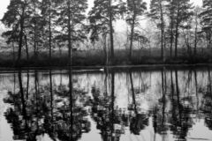 Paesaggio calmo scuro di autunno su un fiume nebbioso con una singola riflessione bianca degli alberi e del cigno in acqua La Fin fotografia stock libera da diritti