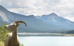 Paesaggio canadese con lo stambecco in Alberta canada Immagini Stock Libere da Diritti