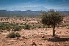 Paesaggio con Argan Tree, Marocco Fotografia Stock Libera da Diritti