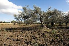 Paesaggio con di olivo Immagine Stock