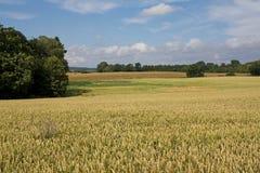 Paesaggio con frumento dorato tipico immagini stock