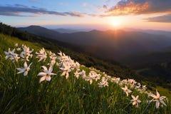 Paesaggio con i bei fiori del narciso Il tramonto con i raggi illumina l'orizzonte Cielo con le nubi Alte montagne in opacità Immagine Stock Libera da Diritti