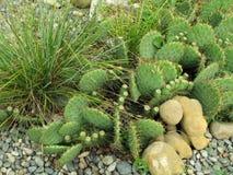 Paesaggio con i cactus Fotografia Stock