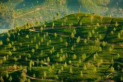Paesaggio con i campi verdi di tè Fotografie Stock Libere da Diritti
