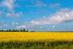 Paesaggio con i fiori del seme di ravizzone fotografia stock