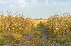 Paesaggio con il giacimento del mais e la strada campestre Fotografia Stock