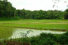 Paesaggio con il giacimento del riso Fotografia Stock Libera da Diritti