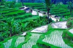 Paesaggio con il giacimento del riso e la giungla, Bali Fotografie Stock
