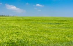 Paesaggio con il giacimento di grano non maturo a maggio Immagini Stock