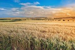 Paesaggio con il giacimento di grano prima del tramonto Fotografie Stock Libere da Diritti