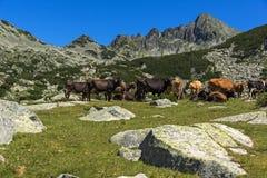 Paesaggio con il picco di Dzhangal e mucche sui prati verdi, montagna di Pirin, Bulgaria fotografia stock libera da diritti