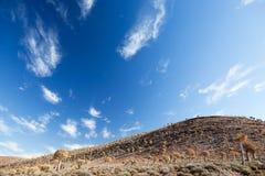 Paesaggio con la faretra rara degli alberi in Sudafrica Fotografie Stock