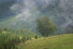 Paesaggio con la foresta dell'abete, le cime della montagna di Misty Carpathian degli alberi che attaccano dalla nebbia immagini stock libere da diritti