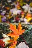 Paesaggio con le foglie di autunno Retro filtro da stile, foglie di acero Immagine Stock Libera da Diritti